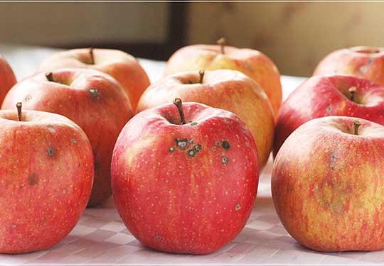 無農薬ジュース用リンゴ