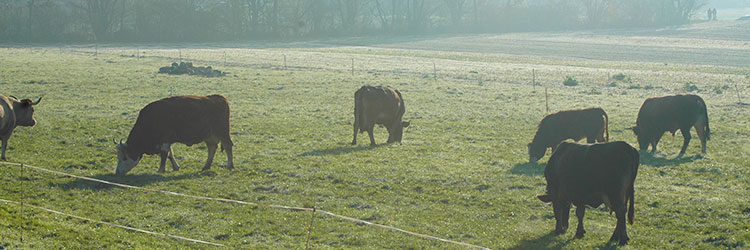 ロングフェッド牛