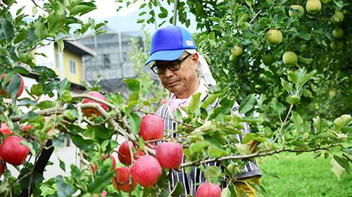 特別栽培青森産リンゴ