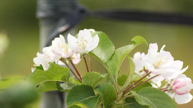 有機りんごの花(青森県福田さんのりんご畑)