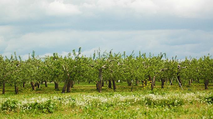 有機りんご福田さん りんご畑(春)