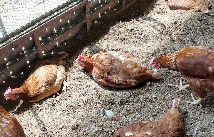 平飼い鶏舎でくつろぐ鶏