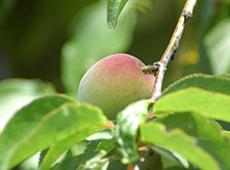 有機栽培梅