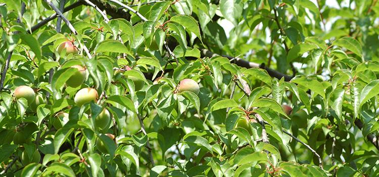 有機栽培生梅の圃場