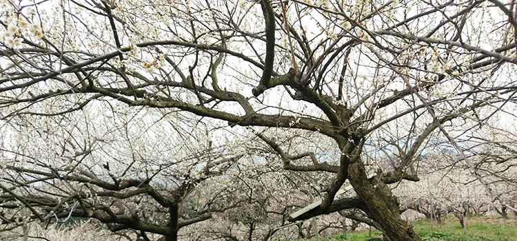 梅の有機栽培28年、先駆けとして