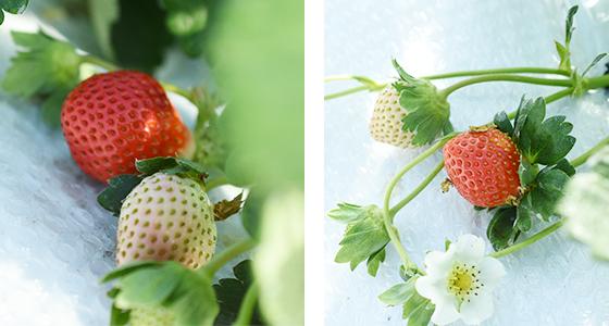 有機栽培イチゴ ハウス内に実るいちご果実